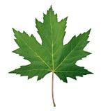 Zielony liść klonowy Obraz Royalty Free
