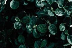 Zielony li?? z wody kropli t?em fotografia stock