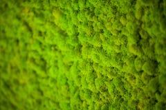 Zielony liszaj Mech ściana w moder piękna studiu zdjęcia stock