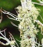 Zielony liszaj na barkentynie czerwony klonowy drzewo obraz royalty free