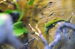 Zielony Lizzard w naturalnym tle Obrazy Royalty Free