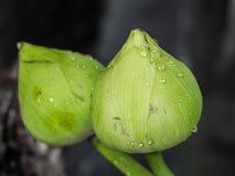 zielony lotos Obraz Royalty Free