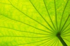 Zielony lotos opuszcza tekstury tło Fotografia Royalty Free