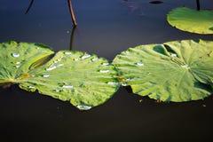 Zielony lotosowy liść w jeziorze zdjęcia royalty free