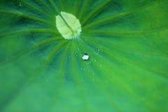 Zielony lotosu urlop, krople i Obrazy Stock