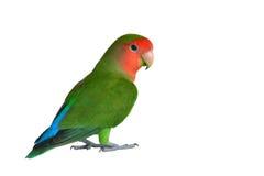 Zielony Lovebird zbliżenie Obraz Stock