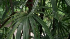 Zielony luksusowy drzewko palmowe opuszcza ulistnienie zbiory wideo