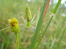zielony lynx pająk Zdjęcie Royalty Free