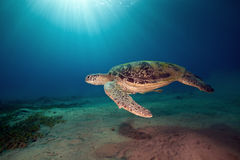 zielony męski żółw Zdjęcie Stock
