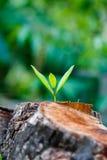 Zielony młody mały drzewo wyłania się od drewnianego fiszorka Zdjęcia Stock