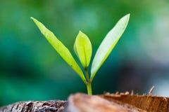 Zielony młody mały drzewo wyłania się od drewnianego fiszorka Zdjęcia Royalty Free