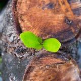 Zielony młody mały drzewo wyłania się od drewnianego fiszorka Obraz Royalty Free