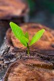 Zielony młody mały drzewo wyłania się od drewnianego fiszorka Fotografia Royalty Free