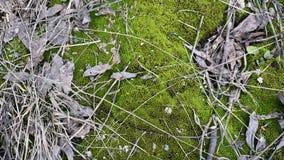 Zielony młody mech z starymi liśćmi drzewa i małymi gałąź na ziemi w naturalnym świetle zbiory
