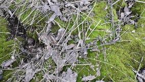 Zielony młody mech z starymi liśćmi drzewa i małymi gałąź na ziemi w naturalnym świetle zbiory wideo