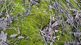 Zielony młody mech z starymi liśćmi drzewa i małymi gałąź na ziemi w naturalnym świetle zdjęcie wideo