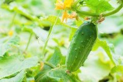 Zielony młody ogórek Zdjęcie Royalty Free