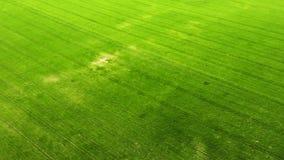 Zielony m?ody pszenicznych lub zbo?owych rozmaito?? wietrzny pole od powietrznego trutnia widoku zbiory wideo