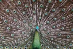 zielony męski muticus pavo pawia peafowl Fotografia Stock