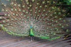 zielony męski pawi peafowl Fotografia Royalty Free