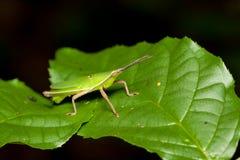 Zielony mały pasikonika relaksować Zdjęcie Stock