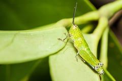 Zielony mały pasikonika relaksować Obrazy Royalty Free