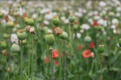 Zielony maczek przewodzi i czerwień kwitnie w polu zdjęcia royalty free