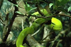 Zielony mamba, wąż Zdjęcie Stock
