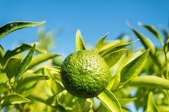Zielony mandarine na drzewie Obrazy Stock