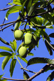 zielony mango Fotografia Royalty Free