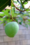 zielony mango Obrazy Stock