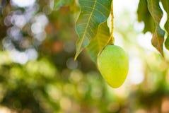 Zielony mango lub Mangifera indica jesteśmy na gałąź, wizerunek w zamazanym tle Obraz Royalty Free