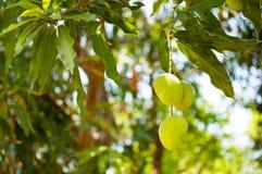 Zielony mango lub Mangifera indica jesteśmy na gałąź, wizerunek w zamazanym tle Fotografia Stock