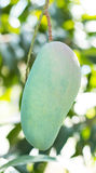 Zielony mango na drzewie Obraz Royalty Free