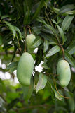zielony mango na mangowym drzewnej owoc mango Zdjęcie Stock