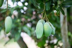 zielony mango na mangowym drzewnej owoc mango Obraz Stock