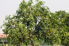 Zielony mangowy drzewo z mango obraz stock