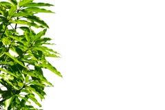 Zielony mangowy liść fotografia royalty free