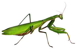 Zielony mantid Zdjęcie Stock