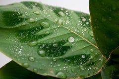 Zielony maranta liść z rosa kroplami zdjęcie royalty free