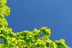 Zielony marple opuszcza na jasnym nieba tła copyspace Obrazy Stock
