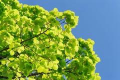 Zielony marple opuszcza na jasnym nieba tła copyspace Fotografia Royalty Free