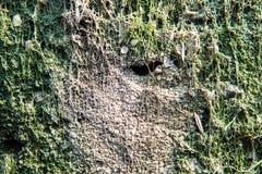 Zielony mech dorośnięcie na betonie na ścianie obrazy stock