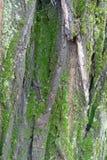 Zielony mech i liszaj na barkentynie fałszywa akacja obrazy royalty free