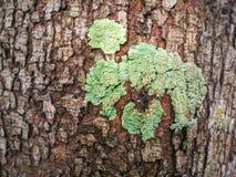 Zielony mech i liszaj na drzewach, obrazy stock