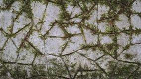 Zielony mech jest na kamieniu Tekstura, t?o zdjęcie wideo
