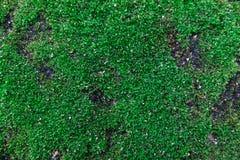Zielony mech, zielony liszaj obraz royalty free