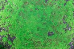 Zielony mech, zielony liszaj fotografia stock