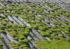 Zielony mech na popielaty rocznik taflującym dachu, Fotografia Stock