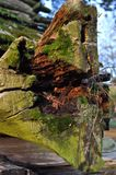 Zielony mech na starym drzewie Obraz Royalty Free